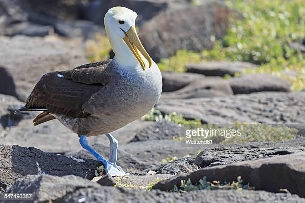 Ecuador, Galapagos Islands, Espanola, Punta Suarez, Galapagos albatross