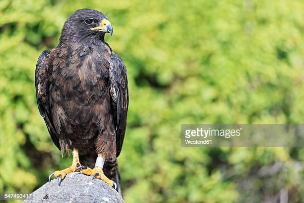 ecuador, galapagos islands, espanola, punta suarez, galapagos hawk - hawk stock photos and pictures