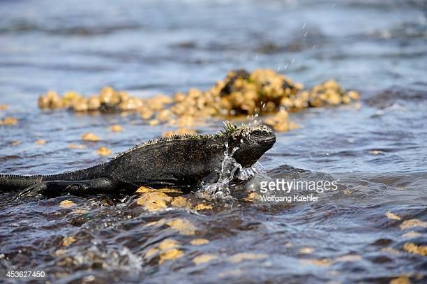 Ecuador Galapagos Islands Fernandina Island Marine Iguana Coming Out Of Lagoon