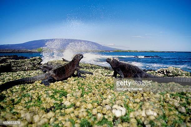 Ecuador Galapagos Islands Fernandina Island Marine Iguana Feeding On Algae At Low Tide