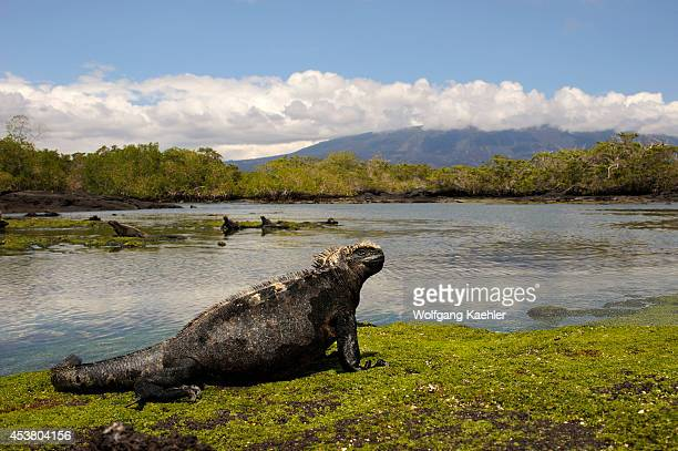 Ecuador Galapagos Islands Fernandina Island Marine Iguana Feeding On Algae At Low Tide