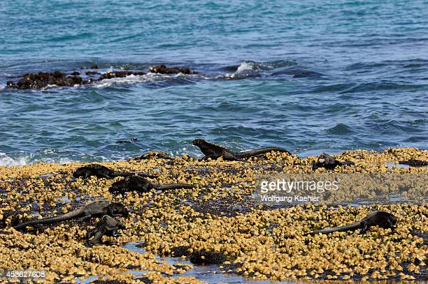 Ecuador Galapagos Islands Fernandina Island Marine Iguanas Feeding At Low Tide