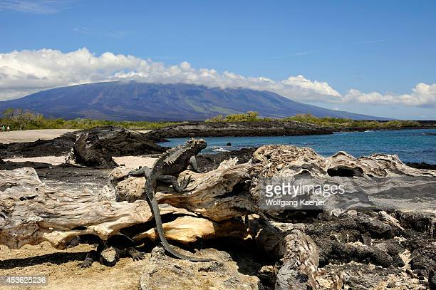 Ecuador Galapagos Islands Fernandina Island Marine Iguanas