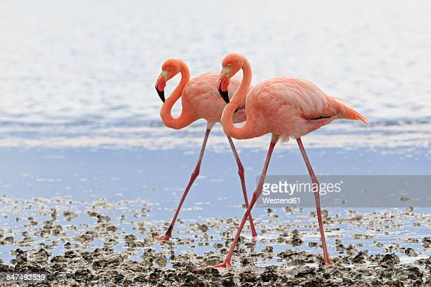 ecuador, galapagos islands, floreana, punta cormorant, two pink flamingos walking side by side in a lagoon - flamingo stock photos and pictures
