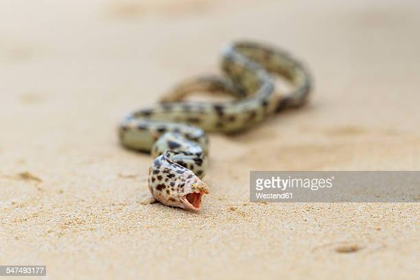 Ecuador, Galapagos Islands, Floreana, Tiger snake eel on beach