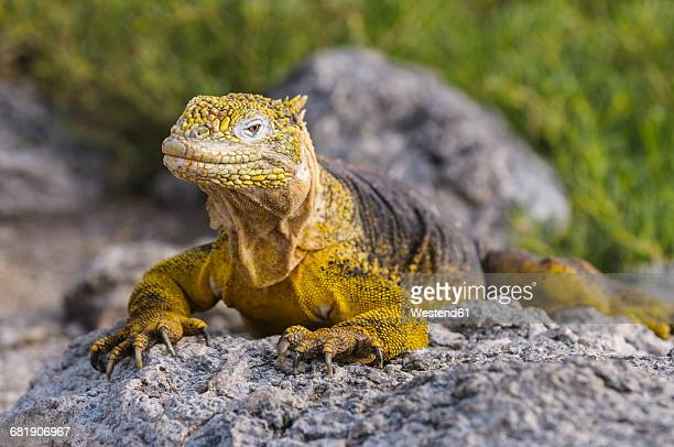 ecuador, galapagos islands, galapagos land iguana, conolophus subcristatus - galapagos land iguana stock photos and pictures