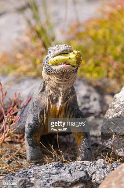 ecuador, galapagos islands, galapagos land iguana, conolophus subcristatus - land iguana stock photos and pictures