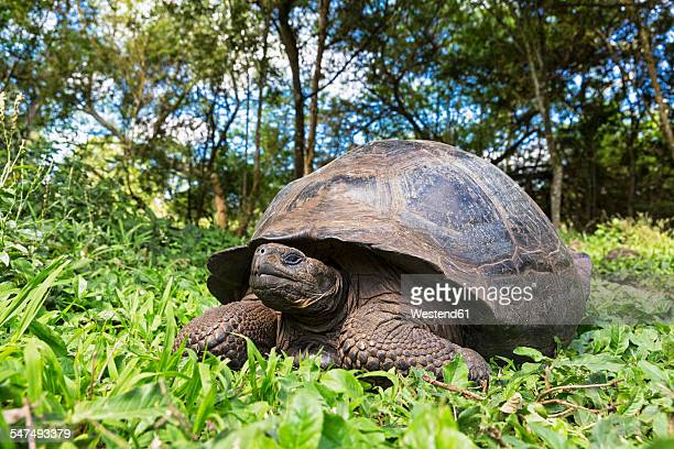 ecuador, galapagos islands, galapagos tortoise - santa cruz island galapagos islands stock pictures, royalty-free photos & images