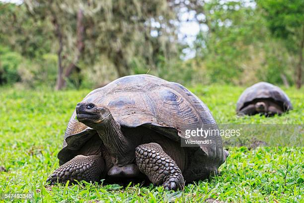 ecuador, galapagos islands, galapagos tortoises on a meadow - santa cruz island galapagos islands stock pictures, royalty-free photos & images
