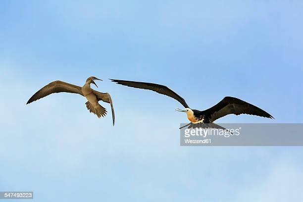 ecuador, galapagos islands, genovesa, flying great frigatebird and nazca booby quarreling - darwin island stock photos and pictures