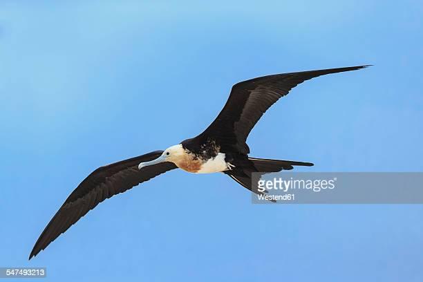 ecuador, galapagos islands, genovesa, flying great frigatebird - darwin island stock photos and pictures