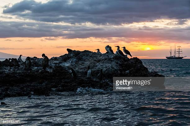 Ecuador, Galapagos Islands, Isabela, blue-footed boobies on rock at sunset