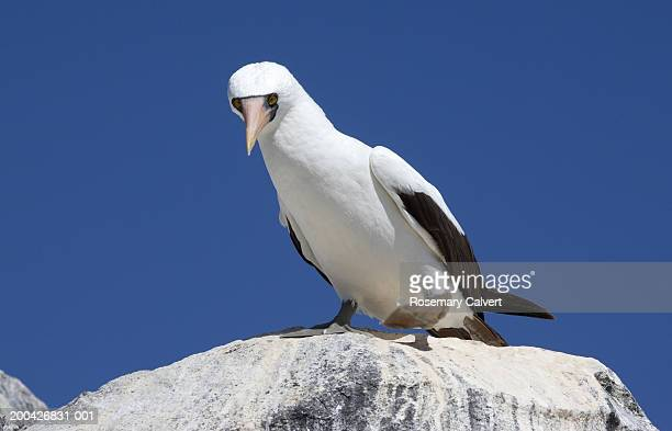 Ecuador, Galapagos Islands, masked booby (Sula dactylatra) on rock