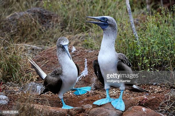 Ecuador Galapagos Islands North Seymour Island Bluefooted Boobies Dancing Courtship Behavior