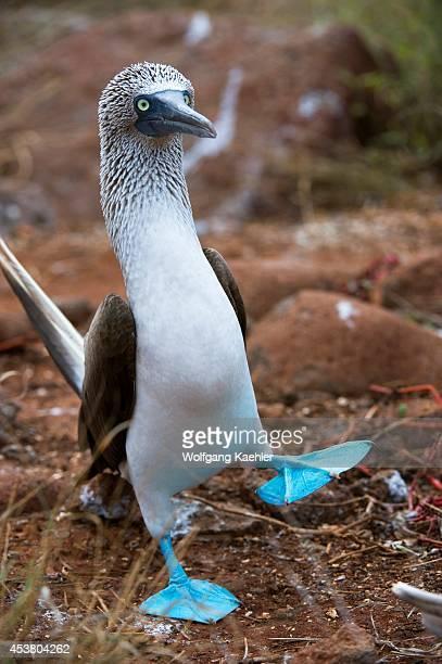 Ecuador Galapagos Islands North Seymour Island Bluefooted Booby Dancing Courtship Behavior
