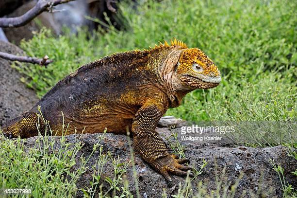 Ecuador Galapagos Islands North Seymour Island Land Iguana