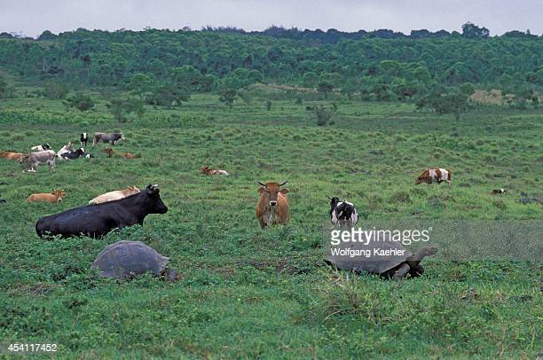 Ecuador Galapagos Islands Santa Cruz Highlands Galapagos Tortoises Cattle Background