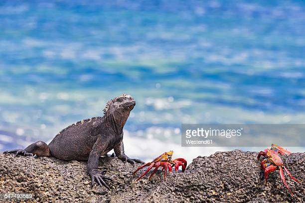 ecuador, galapagos islands, santa cruz, marine iguana, amblyrhynchus cristatus, and red rock crabs, grapsus grapsus - santa cruz island galapagos islands stock pictures, royalty-free photos & images