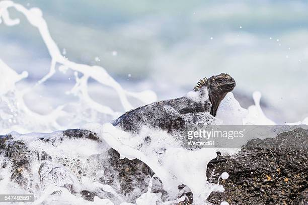 ecuador, galapagos islands, santa cruz, marine iguana, amblyrhynchus cristatus - santa cruz island galapagos islands stock pictures, royalty-free photos & images