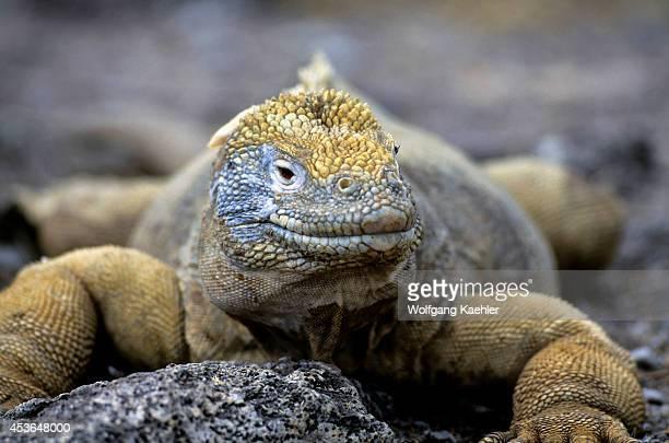 Ecuador Galapagos Islands Santa Fe Island Land Iguana