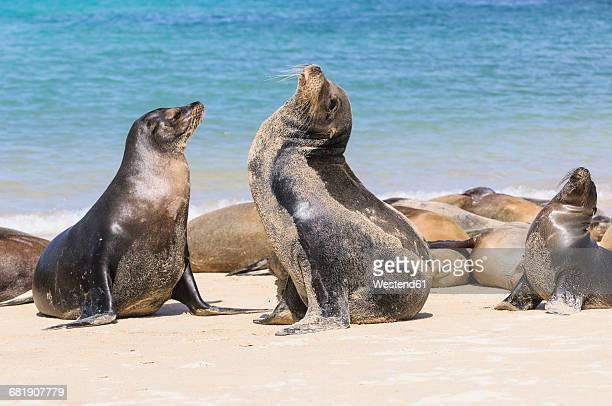 Ecuador, Galapagos Islands, Santa Fe, mating Galapagos sea lions on the beach