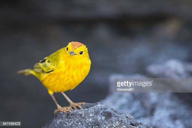 Ecuador, Galapagos Islands, Santiago, yellow warbler