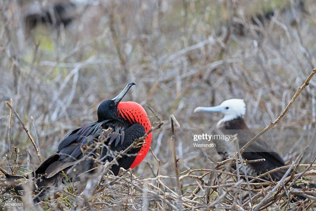 Ecuador, Galapagos Islands, Seymour Norte, mating magnificent frigatebird : Stock Photo