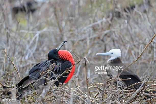 ecuador, galapagos islands, seymour norte, mating magnificent frigatebird - animal behaviour stock pictures, royalty-free photos & images
