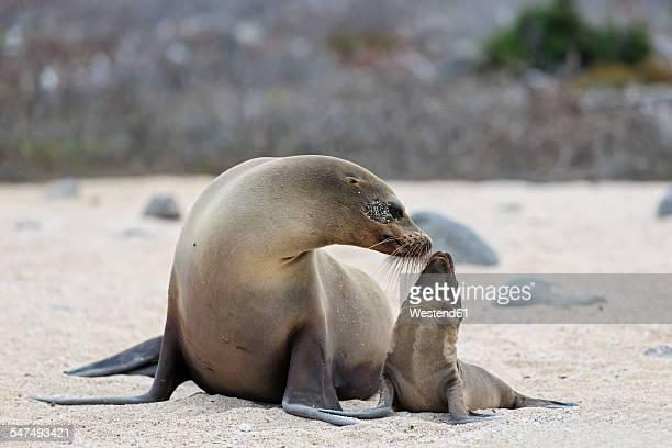Ecuador, Galapagos Islands, Seymour Norte, sea lion with baby