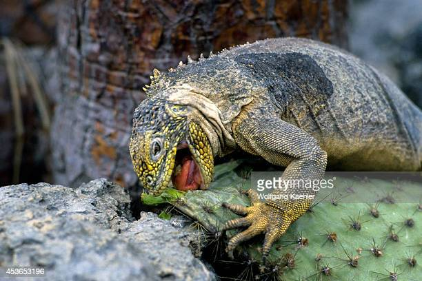 Ecuador Galapagos Islands South Plaza Island Land Iguana Feeding On Opuntia Cactus Leaves