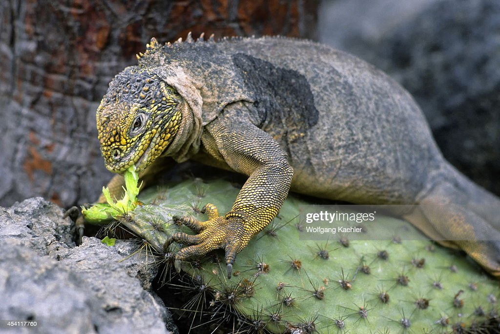 Ecuador, Galapagos Islands South Plaza Island, Land Iguana... : News Photo