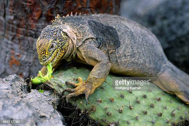 Ecuador Galapagos Islands South Plaza Island Land Iguana Feeding On Opuntia Cactus Leaves