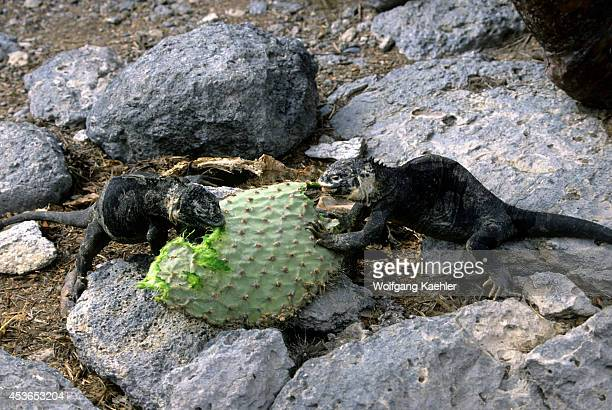 Ecuador Galapagos Islands South Plaza Island Land Iguanas Feeding On Opuntia Cactus Leaves