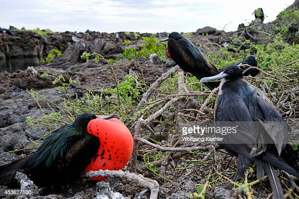Ecuador Galapagos Islands Tower Island Great Frigate Bird Colony Males With Inflated Throat Pouch Courtship Behavior