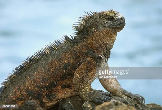 Ecuador Galapagos Santa Cruz Island Puerto Ayora Large Marine Iguana