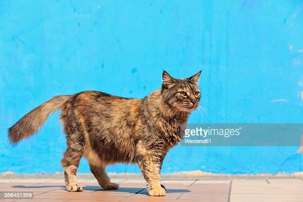 Ecuador, Guayaquil, cat standing in front of light blue facade
