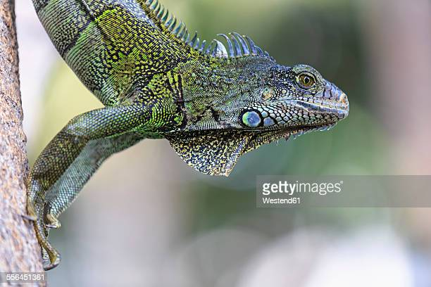Ecuador, Guayaquil, Green Iguana on tree