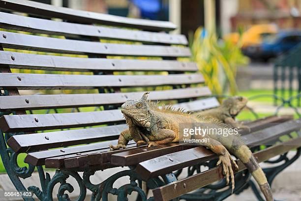 ecuador, guayaquil, two green iguanas on a park bench - ecuador fotografías e imágenes de stock