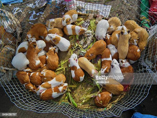 Otavalo at the big unbaised animal market on the westside of the city are to be on offer guinea pigs