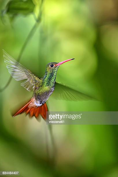 ecuador, rufous-tailed hummingbird, amazilia tzacatl, flying - braunschwanzamazilie stock-fotos und bilder