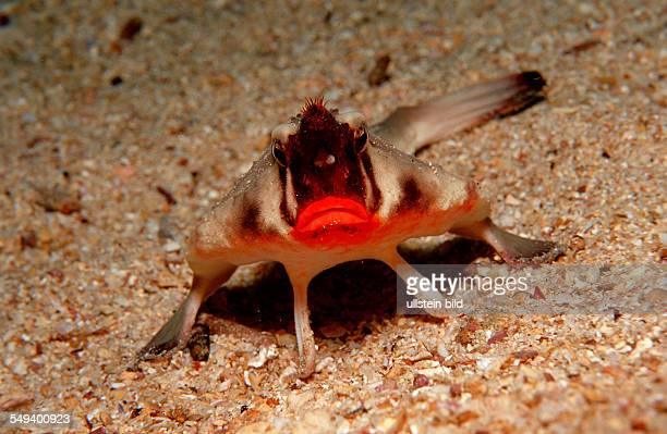 RED LIPPED BATFISH OGCOCEPHALUS DARWINI Ecuador South America Galápagos Galapagos Island Pacific Ocean