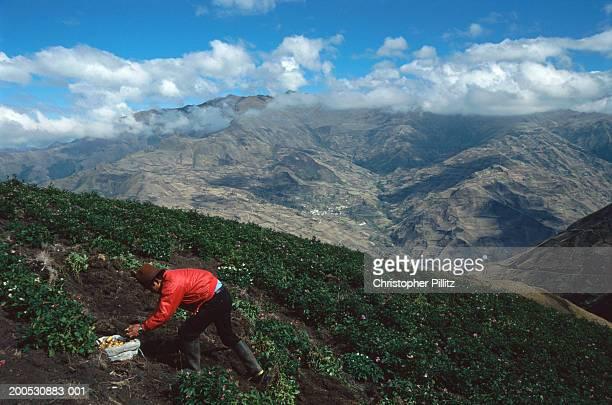 Ecuador, The Andes, potato farmer working in field.
