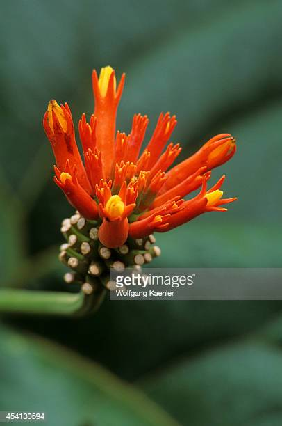 Ecuadoramazon Rainforest Rio Napo Near Coca Psiguria/anguria Flower
