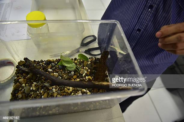 Ecuadorean scientist Omar Torres Carvajal shows an Enyalioides Rubrigularis lizard during an interview with AFP in Quito on April 9 2015 Three new...