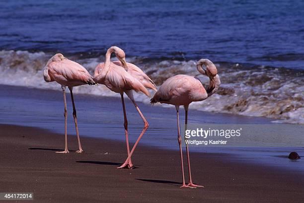 Ecuadorgalapagos Islands Floreana Is Flamingos On Beach