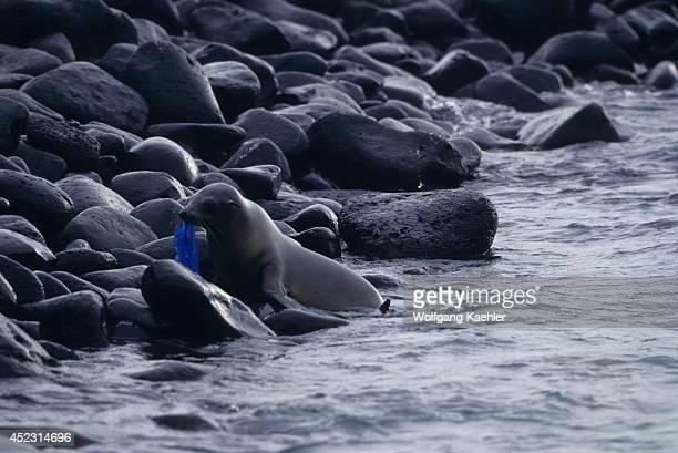 Ecuador,galapagos Islands, Hood Island, Galapagos Sea Lion With Plastic Bag.