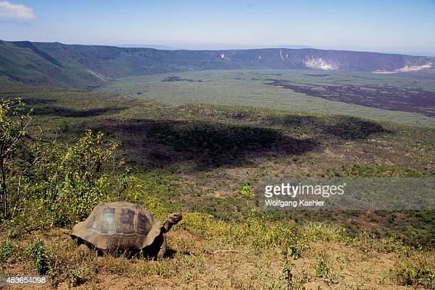 Ecuadorgalapagos Islands Isabela Island Alcedo Volcano Galapagos Tortoise On Rim Of Crater