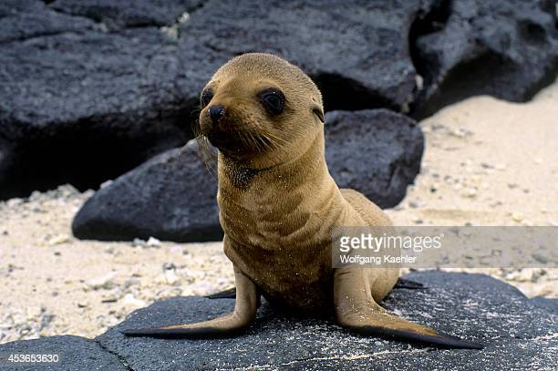 Ecuadorgalapagos Islands Tower Island Galapagos Sea Lion Pup