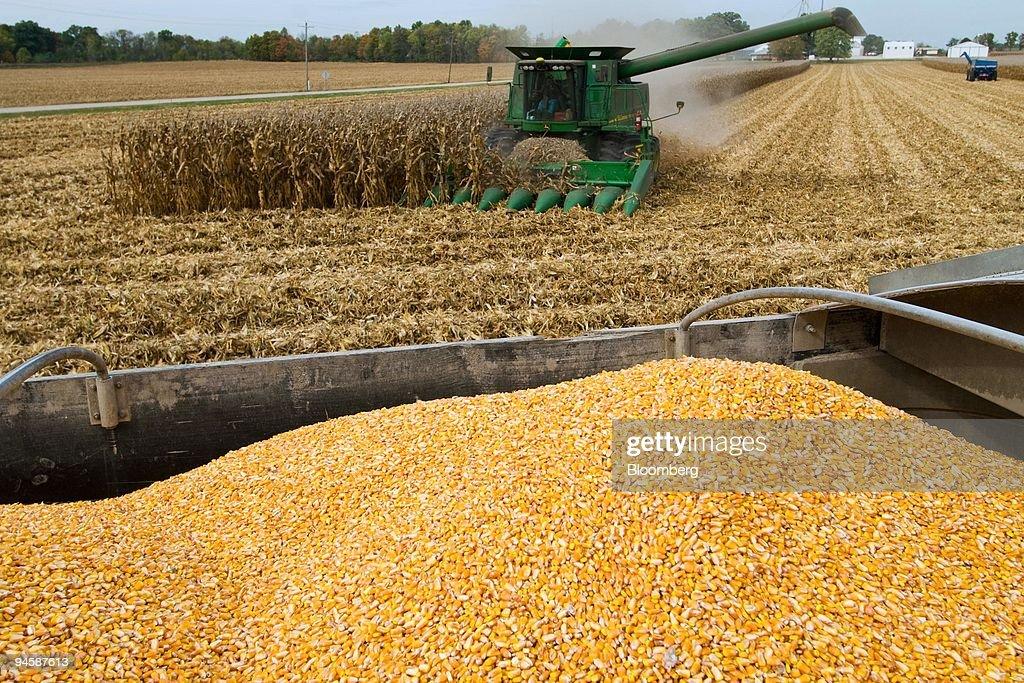 Eddie Pittman Runs His John Deere Combine Through Corn Fields Rear As Harvested Awaits