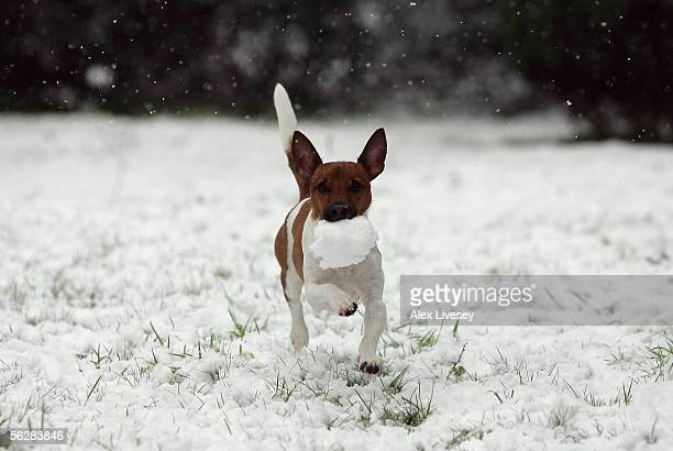 Eddie the Jack Russell plays fetch with a snowball as snow falls in the village of Poynton as the winter weather continues to spread through Britain...